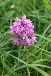 Pyramidal Orchid (Anacamptis pyramidalis) David Holmes
