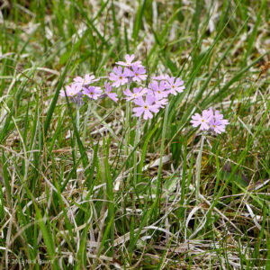 Birdseye Primrose (Primula farinosa) - 190523-120247_DMC-GX8_P1080828