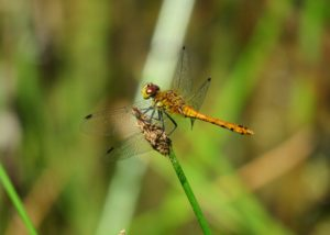 Ruddy Darter, FGP 15/7/2018 (Mike Smithson)
