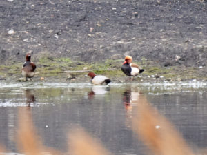 Common Pochard and Red-crested Pochard (Nick Gaunt)