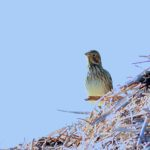 Corn Bunting Peter Thomson