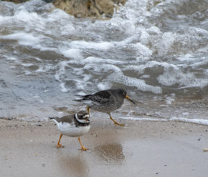 Ringed Plover & Purple Sandpiper (Nigel Harcourt-Brown)