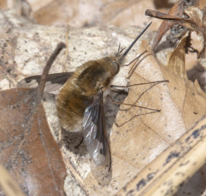 Large Bee Fly (Bombylius major) Nigel Harcourt-Brown