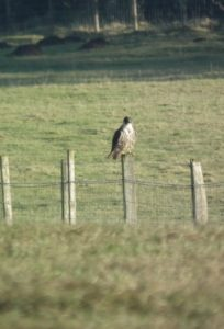 A huge imm female Peregrine we watched closely sat on a fence at The Dubb, Ripon Parks (Colin Slator)