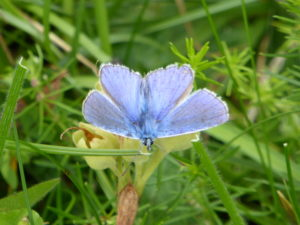 Common Blue male (Will Rich)