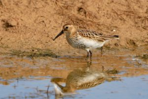 Dunlin (Peter Thomson)