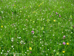 Meadow flowers in Upper Teesdale