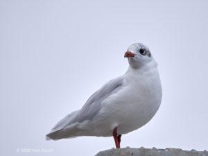 Mediterranean Gull (Nick Gaunt)