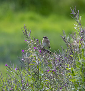 Whinchat (Nigel Harcourt-Brown)