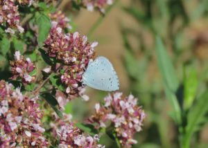 Holly Blue, FGP 15/7/2018 (Mike Smithson)