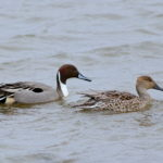 Pintail pair Leighton Moss  Peter Thornton