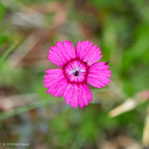Maiden Pink (Dianthus deltoides)