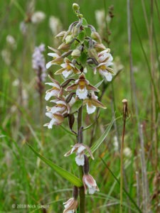 Marsh Helleborine (Epipactis palustris) (Nick Gaunt)