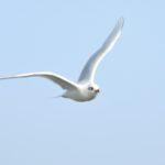 Mediterranean Gull Jack Upsall