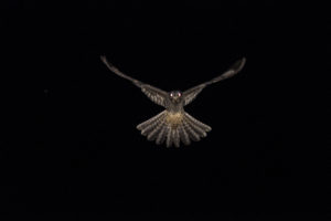 Nightjar, Stainburn Forest (taken a few days later by Nigel Harcourt-Brown)