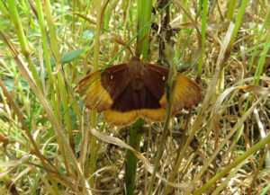 Oak Eggar Mike Smithson