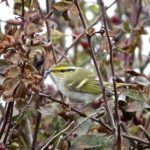 Pallas' Warbler Peter Thomson