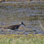 Wood Sandpiper Peter Thomson