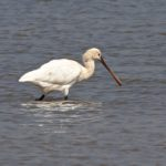 Spoonbill Peter Thomson