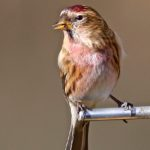 Redpoll Peter Thomson