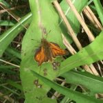 Large Skipper  Richard Bion