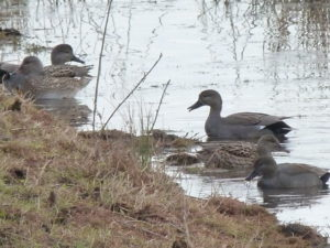 Gadwall pair  Will Rich