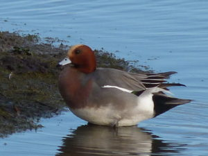 Wigeon ♂ Will Rich