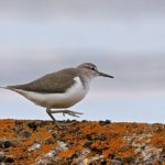 Common Sandpiper Peter Thompson