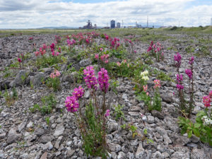 Snapdragon (Antirrhinum majus) on South Gare