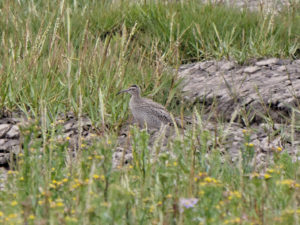 Whimbrel Spurn
