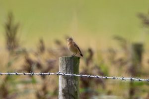 Whinchat (Peter Thomson)