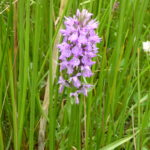 Marsh Orchid  Will Rich