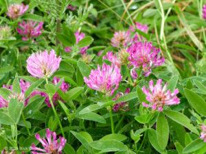 Zigzag Clover (Trifolium medium)