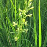 Greater Butterfly Orchid (Fraser Richmond)
