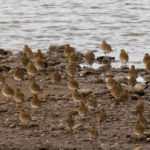 Golden Plover Nick Gaunt